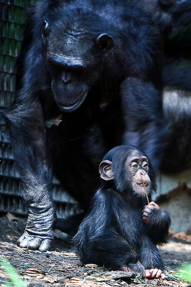 Chimps' eggs degrade more slowly than ours, even though we live far longer.