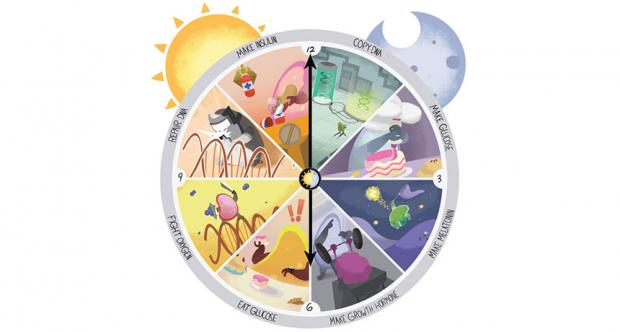 Circadian clocks evolved to protect the DNA of living things.