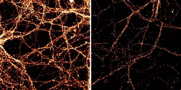 These are images of mouse neurons from the hippocampal region of the brain. Levels of the surface receptor GluR1, orange, are shown in unmodified neurons, left, and in those with increased levels of Tet3, right.