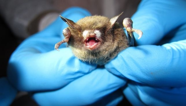 The white fungal growth on this bat's nose gives
