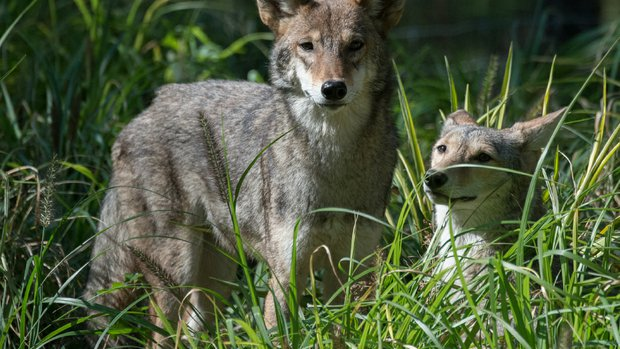 Federal, state and local regulations make dealing with aggressive coyotes problematic