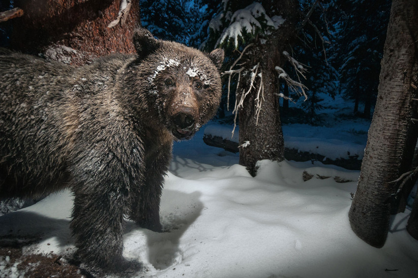 A camera trap near Yellowstone National Park catches a grizzly bear stealing whitebark pine nuts from a squirrel's cache. The nuts are an important food for the bears, a threatened species. The whitebark pines are, in turn, under threat by the mountain pine beetle, which destroys the trees.