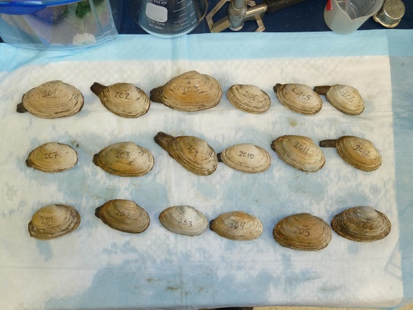 These are soft-shell clams (Mya arenaria) from a seafood market in New York that are sitting on the lab bench while their hemolymph is checked for the presence of neoplastic cells.