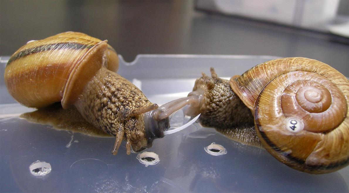 The hermaphroditic land snail at left points a sharp love dart at its mate.