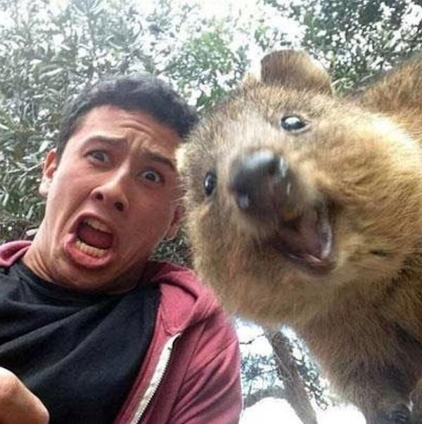 A happy quokka poses for a selfie with a tourist on Rottnest Island Australia