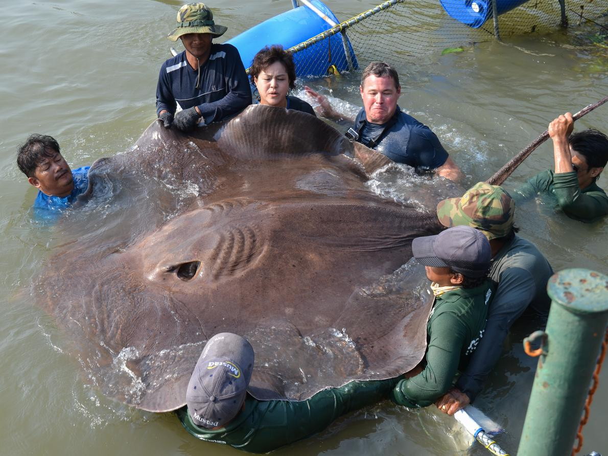TV host Jeff Corwin (upper right) and veterinarian Nantarika Chansue (left) examine a huge freshwater stingray in Thailand's Mae Klong River last week. The ray may be a record-breaker, and the catch and release was filmed for an upcoming episode of the ABC show Ocean Mysteries with Jeff Corwin.