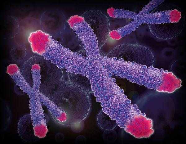 As telomeres shorten, organisms age and encounter disease.