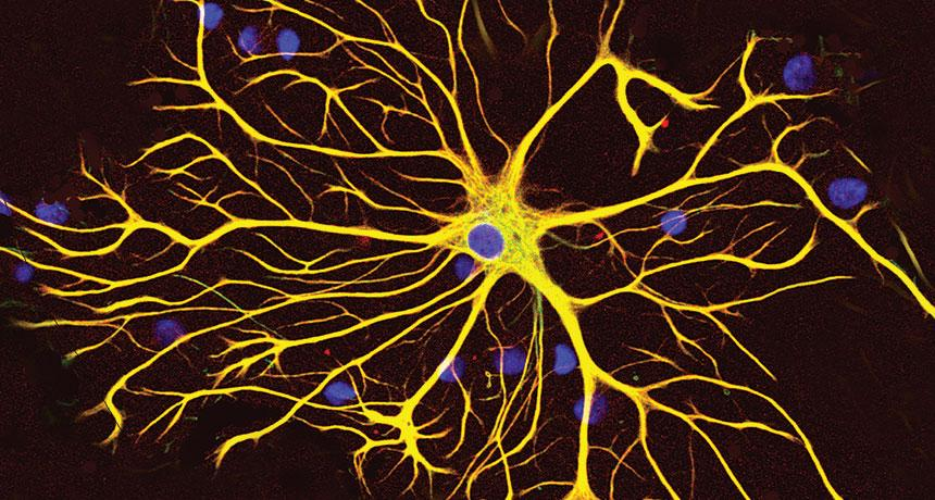 A new study reveals that astrocytes, once thought to play a supporting role, help the brain to send electrical transmissions.