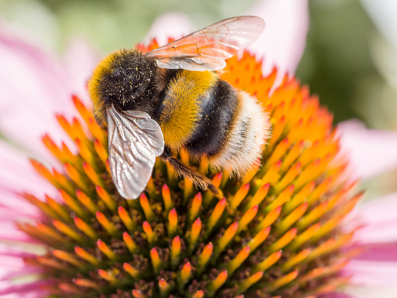 A new study has mapped the genome of bumblebees revealing new information about the species