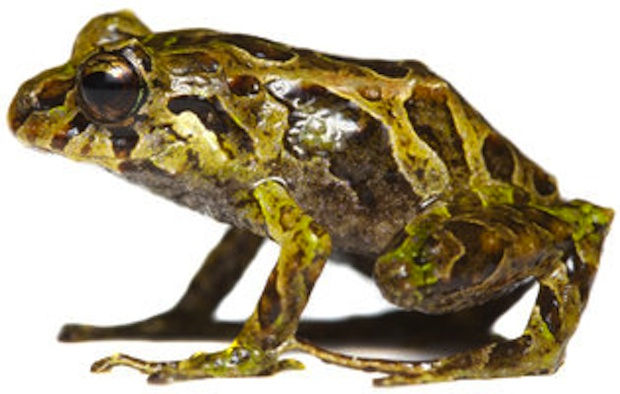 This frog was discovered in 2006, but its texture-changing properties weren't chronicled until more recently.