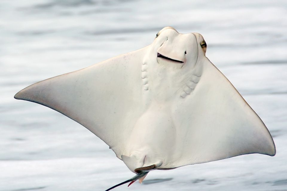 stingrays found to chew their food before swallowing. Black Bedroom Furniture Sets. Home Design Ideas