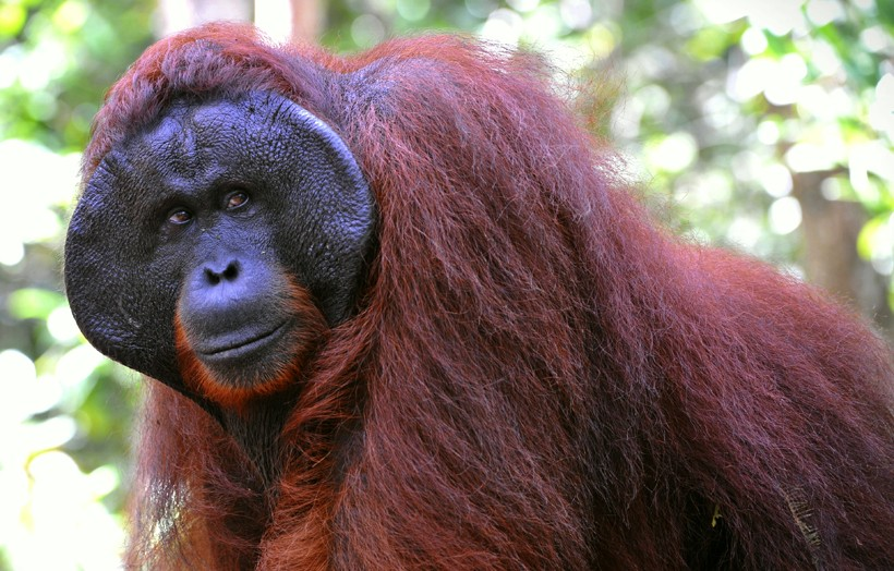 Image of: Endangered Bornean Bornean Orangutan Now Considered Critically Endangered The New York Times Bornean Organgutan Now Considered Critically Endangered Plants And