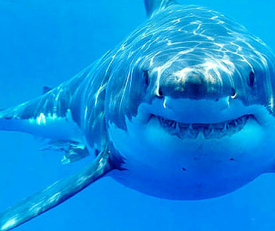Great White Shark Dies in Captivity in Japanese Aquarium ...