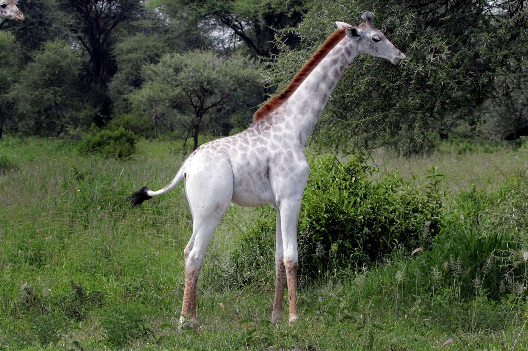 This is Omo, a white-colored giraffe.