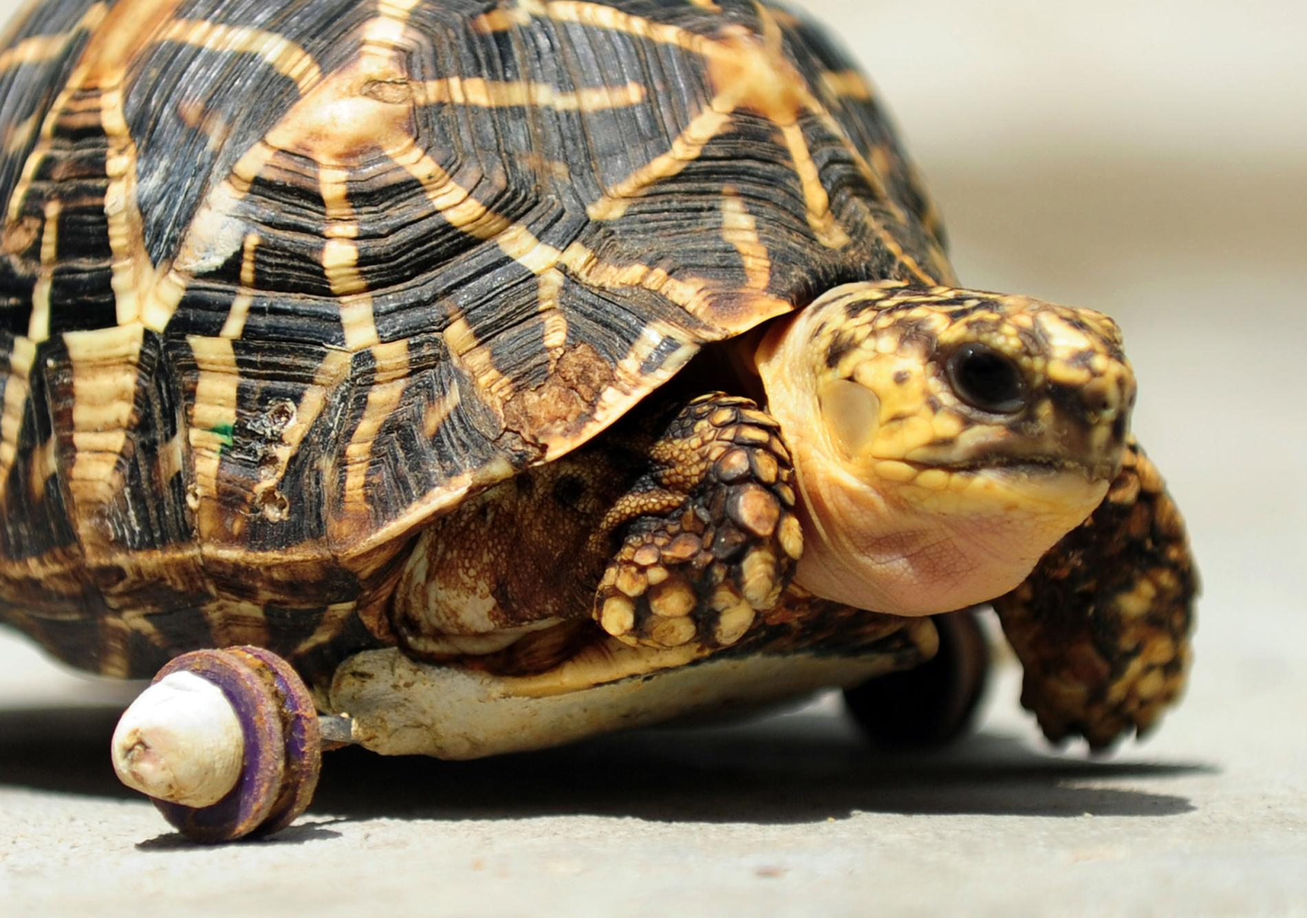 A female tortoise who lost her front right leg has been given her mobility back thanks to a set of wheels affixed to the bottom of her shell.