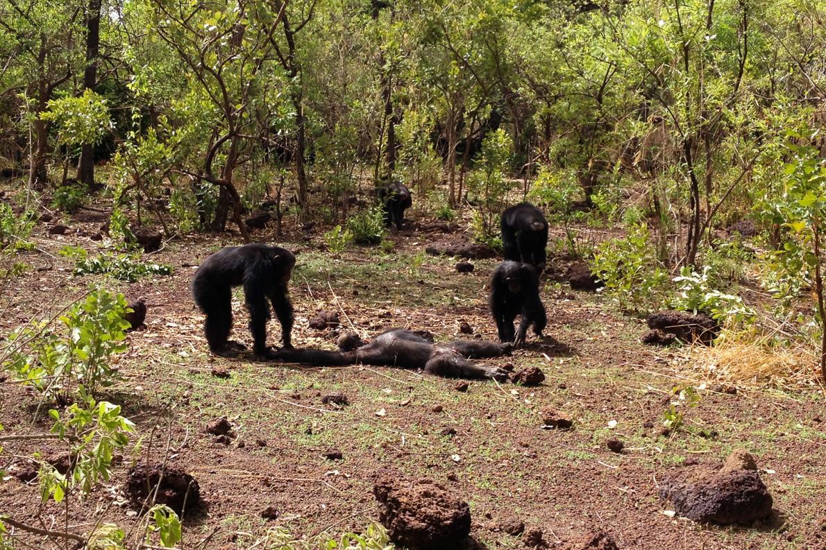 Chimpanzees attack their ex-tyrant Foudouko.