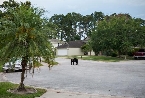 A black bear on a residential street in Daytona Beach, Florida.