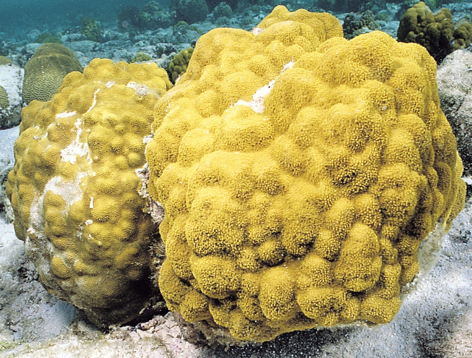 The coral Porites astreoides