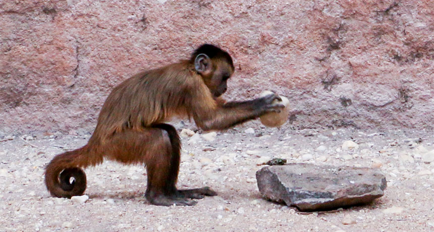 A monkey using what appears to be a rock as a tool.