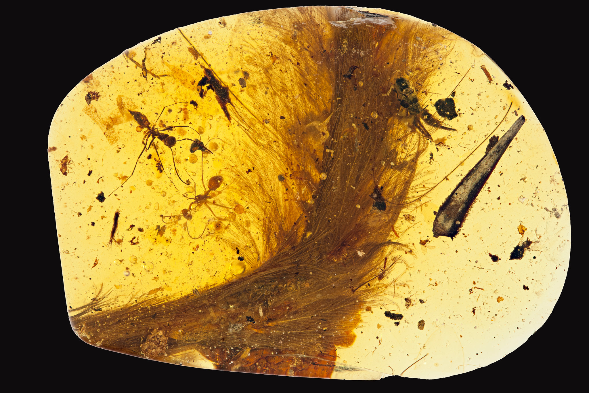 """This is the amber fossil that contains the """"dinosaur tail"""" with the prehistoric plumage."""