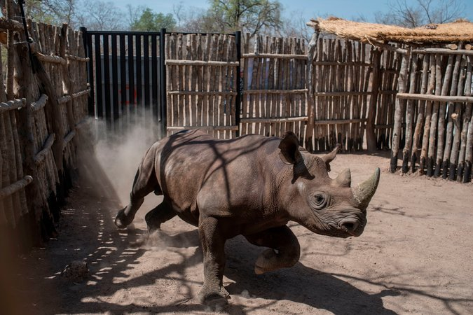 A black rhino runs around inside of his pen in Chad.