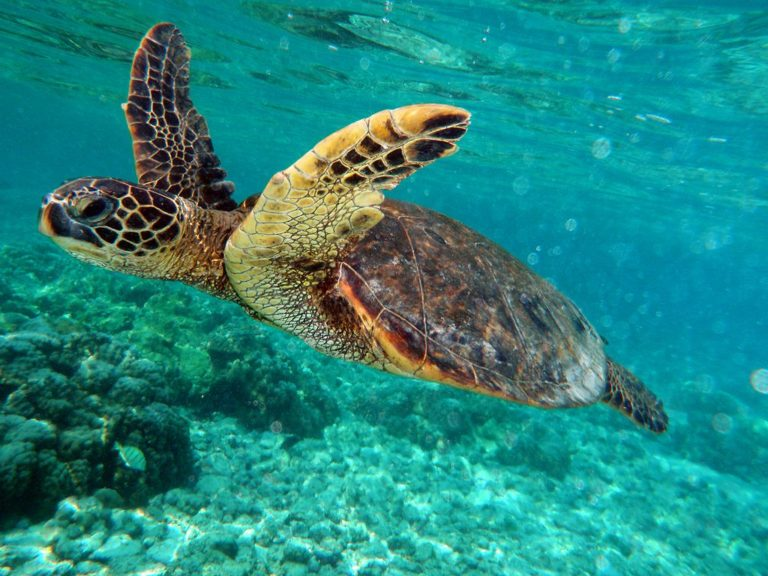 The Belize Barrier Reef is home to threatened species like the green turtle. Photo by Brocken Inaglory