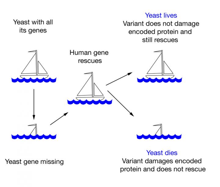 Professor Fritz Roth's concept of testing human gene variants in yeast