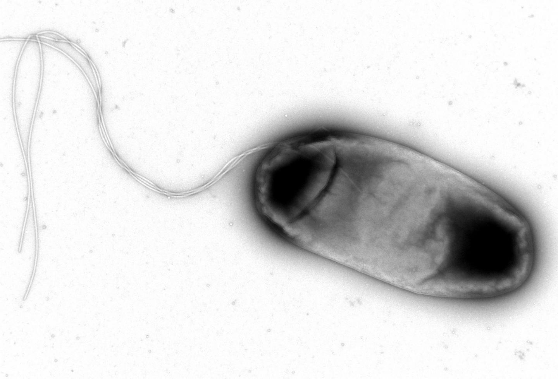 E. coli | Credit: IGC