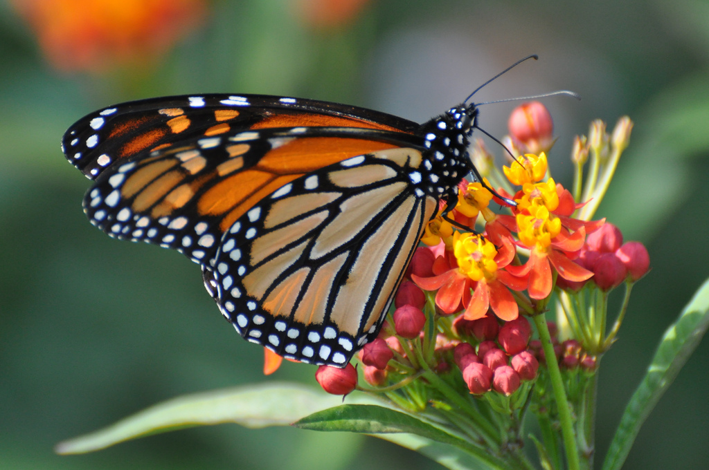 Monarchs may be forging new migration patterns. Photo: climatehealers.org