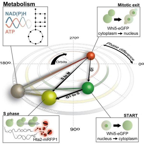 Molecular Cell 2016 Papagiannakis et al