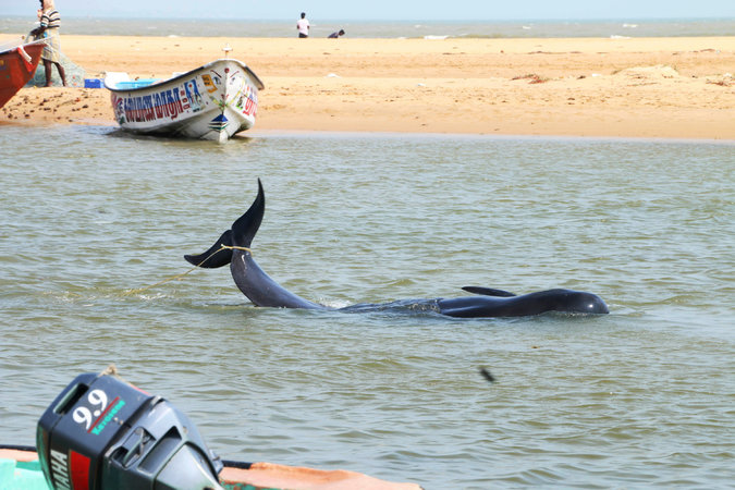 45 whales confirmed dead after mass beaching in India.