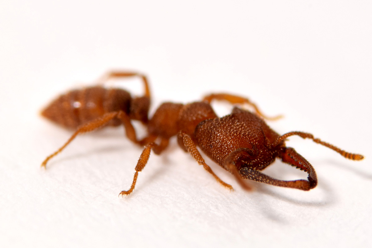 Meet the Dracula ant. It currently sports the fastest-known animal movement on record.