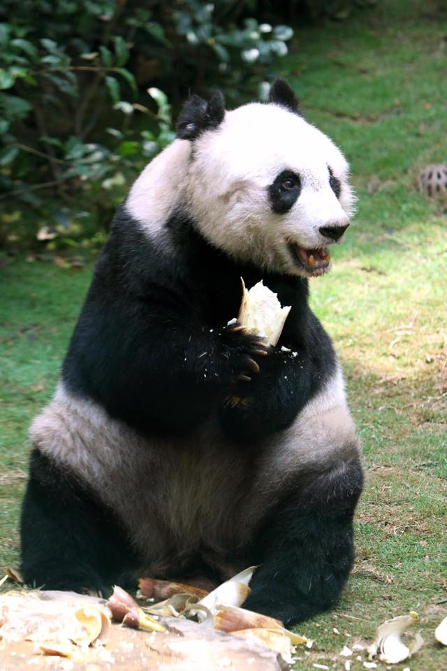 Jia Jia poses for a photograph at Hong Kong's Ocean Park. R.I.P.