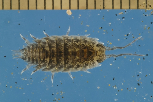 Researchers manipulated conditions of light and tide in the lab, but these isopods' internal tidal clock wasn't tricked.