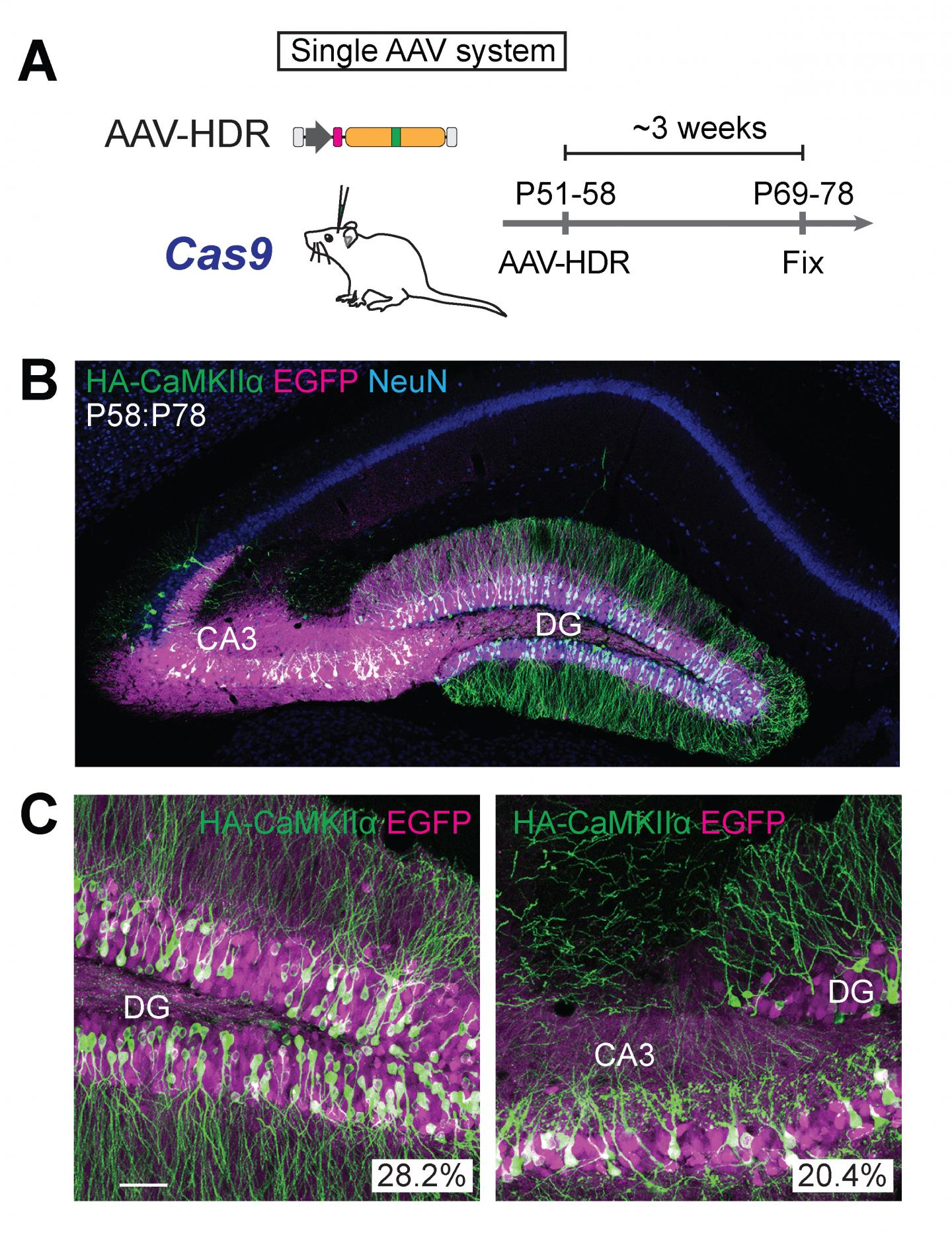 (A) Schematic illustrations of experiments. (B, C) Confocal microscopic images of coronal brain sections of the hippocampus of Cas9 mice, showing the EGFP fluorescence (B, C, magenta), immunoreactivities for NeuN (B, blue) and the HA tag (B, C, green) fused to the N-terminus of endogenous CaMKIIα. / Credit: Max Planck Florida Institute for Neuroscience