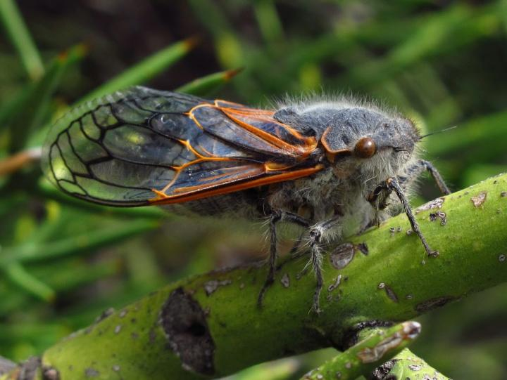 A Chilean cicada, which hosts particularly unusual symbiotic bacteria. / Credit: Piotr Lukasik