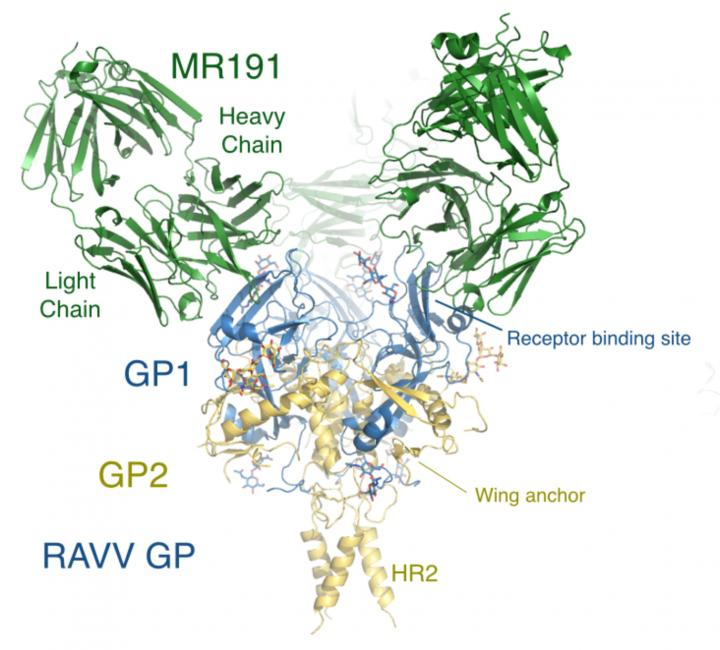 An antibody called MR191 can neutralize the deadly Marburg virus. Credit: Ollmann Saphire Lab