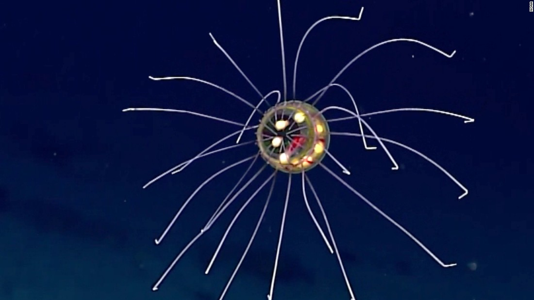 NOAA's strange-looking jellyfish mesmerizes with its color and appearance.