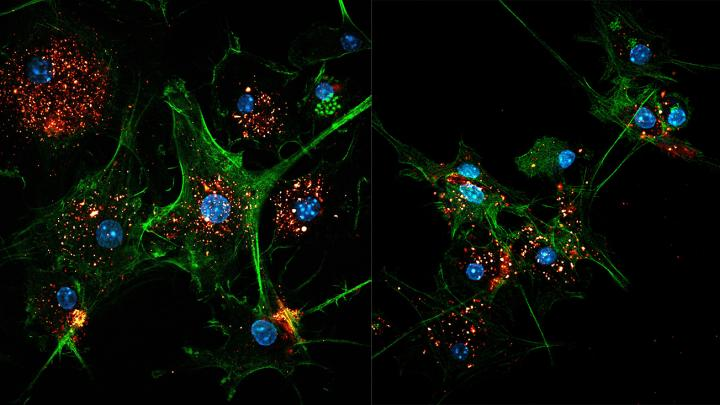 Two images of EVIR-engineered dendritic cells (green) capturing tumor antigens in exosomes (gold/red). Cell nuclei are colored blue. Credit: M. De Palma/EPFL