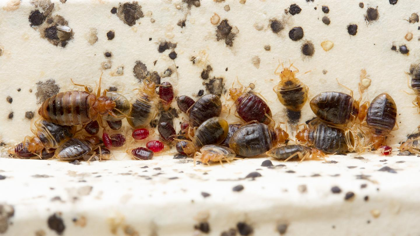 Bed bugs emit substantial and persistent amounts of histamine in infested homes. Credit: Matt Bertone, NC State University