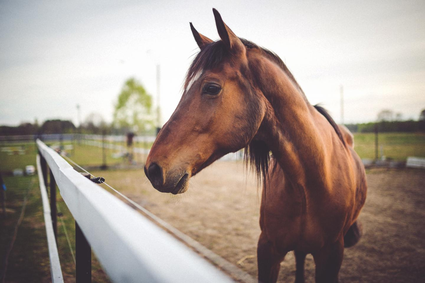 Flu vaccines for horses haven't been updated in more than 25 years, but researchers have developed a new live equine influenza vaccine that's safe and more protective. Credit: University of Rochester Medical Center