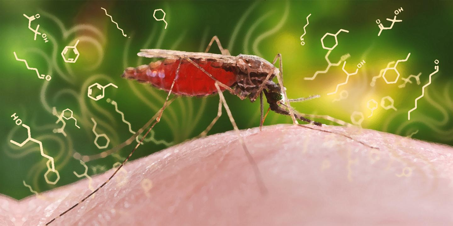 The malaria pathogen alters the odor profile of an infected person, making it more attractive to the pathogen-transmitting Anopheles mosquito. Credit: ETH Zurich / CDC, James Gathany