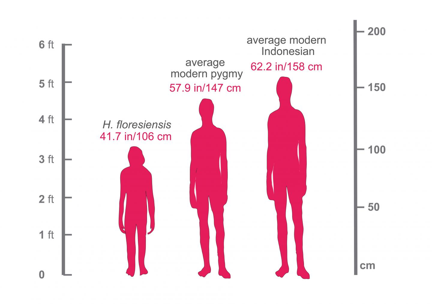 This figure shows the relative heights of a modern Indonesian (5' 2), a modern pygmy living on the island of Flores (4' 10) and Homo floresiensis (3' 5, which is the height of an average American 4-year-old). /Credit: Courtesy of Dr. Serena Tucci, Department of Ecology and Evolutionary Biology, Princeton University