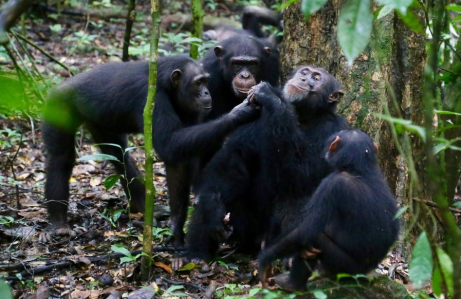Chimpanzees share food with their friends in the wild.
