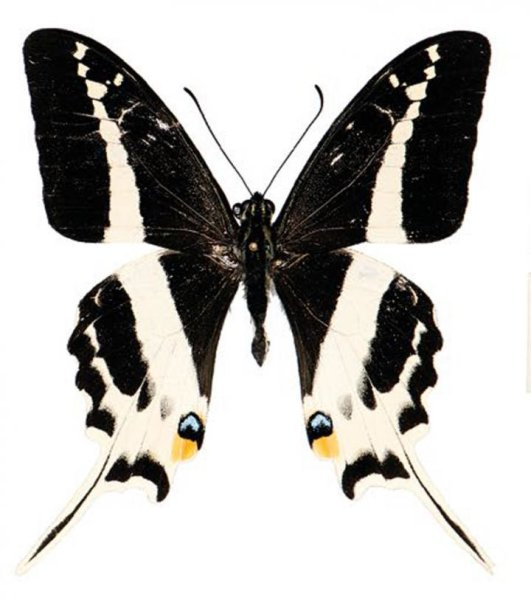 A photograph of the newly-discovered swallowtail butterfly.