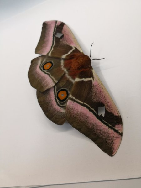 A close-up of a moth analyzed in this study.