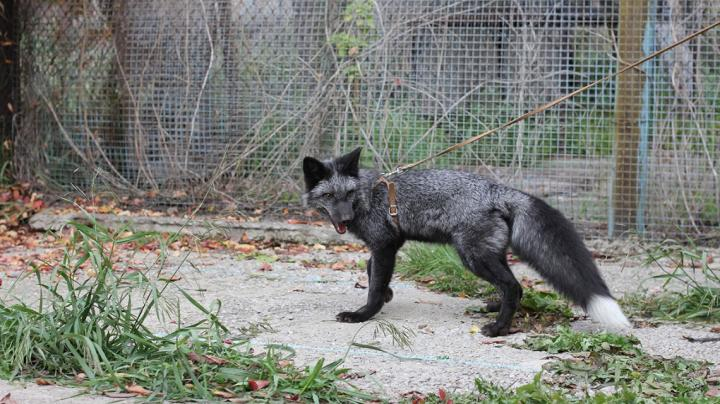 A silver fox bred for tameness at the the Institute for Cytology and Genetics in Novosibirsk, Russia / Credit: Darya Shepeleva