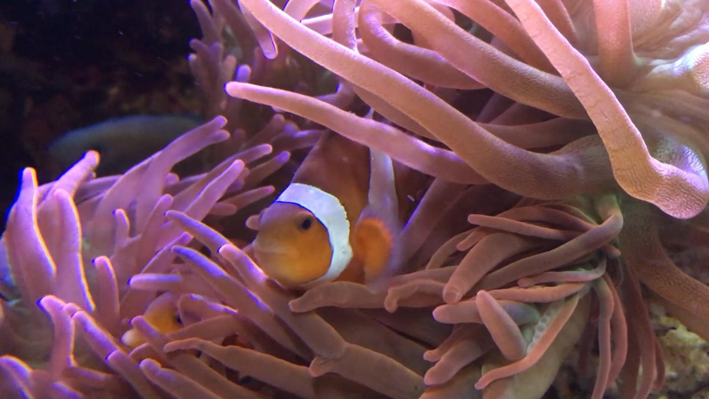 A clownfish peers out of his stoop inside of an anemone that hosts him. Anemones are known for stinging, killing and eating fish. So, how is the clownfish such a shining exception? Bacteria may offer clues. / Credit:  Ben Brumfield / Georgia Tech