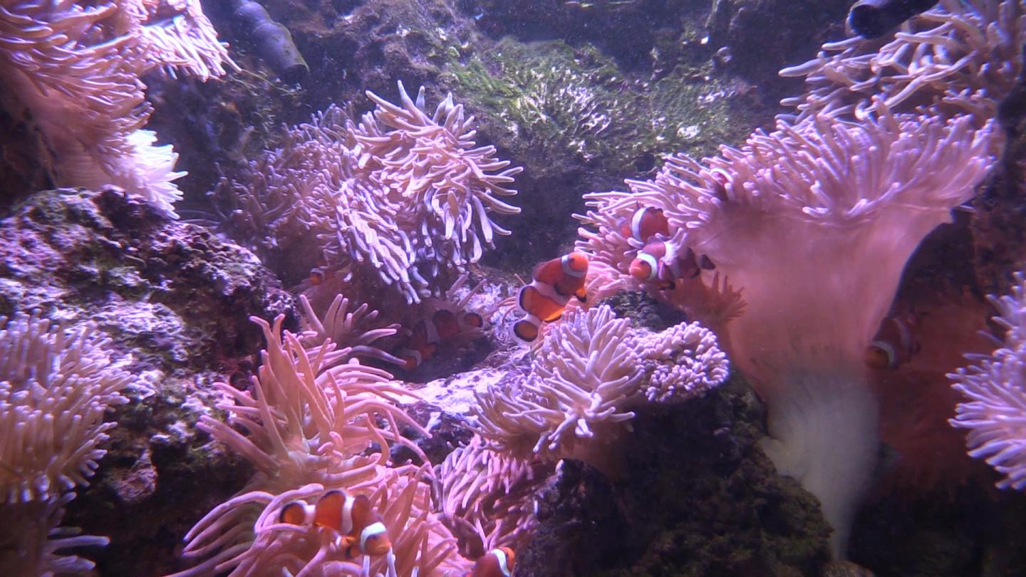 A group of clownfish wriggles from anemone to anemone without danger of being stung and eaten. / Credit: Georgia Tech / Ben Brumfield