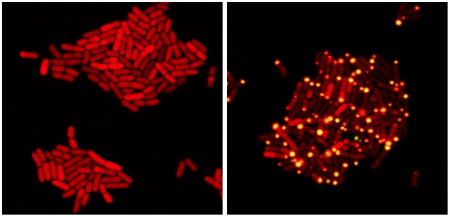 E. coli bacteria contain (red) proteins from the eavesdropping virus. On left, the virus chooses